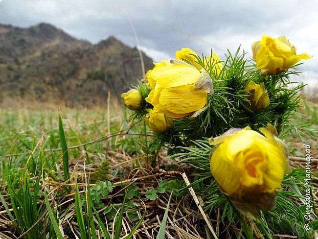 Это Иоанн Кронштадтский, святой праведник, сказал, что цветы – остатки рая на земле. И разве нельзя назвать райским местом этот родник в Бешпельтирском логу? У нас, в Горном Алтае, такая красота повсюду. И я приглашаю вас на неспешную прогулку по цветущему Алтаю. фото 41