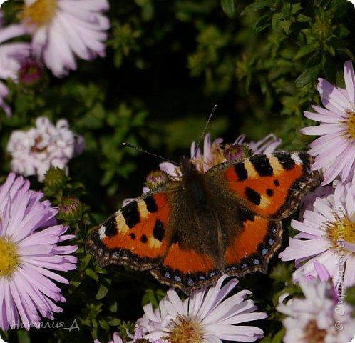 Всем привет!!! Золотой и солнечный, как это золотая осень! Распускаются у меня на даче октябринки.... маленьки такие астрочки.... и это прощальный подарок лета - ароматный десерт -  бабочкам.... Вот хочу поделиться! фото 1