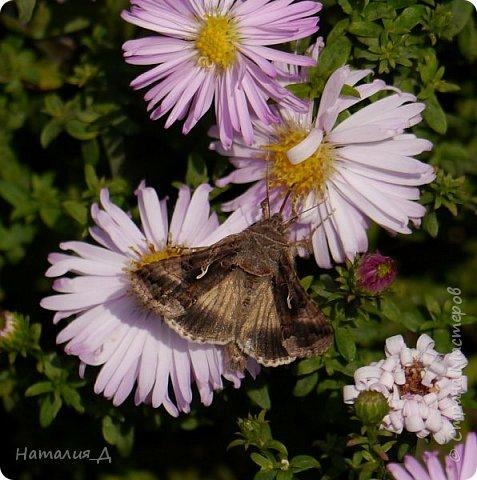Всем привет!!! Золотой и солнечный, как это золотая осень! Распускаются у меня на даче октябринки.... маленьки такие астрочки.... и это прощальный подарок лета - ароматный десерт -  бабочкам.... Вот хочу поделиться! фото 2