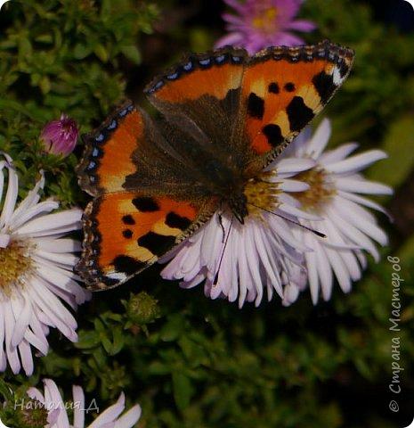Всем привет!!! Золотой и солнечный, как это золотая осень! Распускаются у меня на даче октябринки.... маленьки такие астрочки.... и это прощальный подарок лета - ароматный десерт -  бабочкам.... Вот хочу поделиться! фото 3