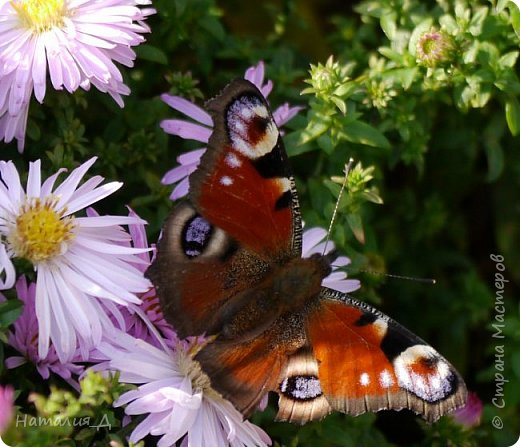 Всем привет!!! Золотой и солнечный, как это золотая осень! Распускаются у меня на даче октябринки.... маленьки такие астрочки.... и это прощальный подарок лета - ароматный десерт -  бабочкам.... Вот хочу поделиться! фото 4