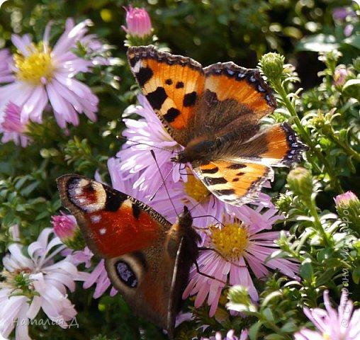 Всем привет!!! Золотой и солнечный, как это золотая осень! Распускаются у меня на даче октябринки.... маленьки такие астрочки.... и это прощальный подарок лета - ароматный десерт -  бабочкам.... Вот хочу поделиться! фото 5