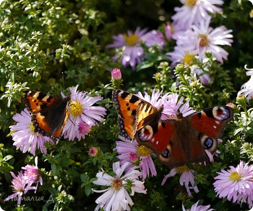 Всем привет!!! Золотой и солнечный, как это золотая осень! Распускаются у меня на даче октябринки.... маленьки такие астрочки.... и это прощальный подарок лета - ароматный десерт -  бабочкам.... Вот хочу поделиться! фото 6