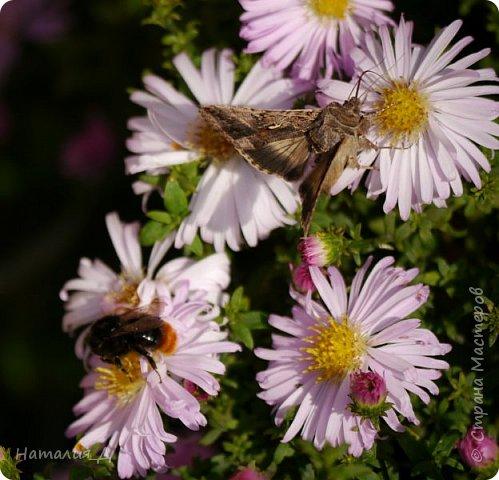 Всем привет!!! Золотой и солнечный, как это золотая осень! Распускаются у меня на даче октябринки.... маленьки такие астрочки.... и это прощальный подарок лета - ароматный десерт -  бабочкам.... Вот хочу поделиться! фото 7