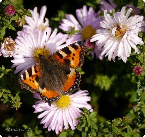 Всем привет!!! Золотой и солнечный, как это золотая осень! Распускаются у меня на даче октябринки.... маленьки такие астрочки.... и это прощальный подарок лета - ароматный десерт -  бабочкам.... Вот хочу поделиться! фото 8