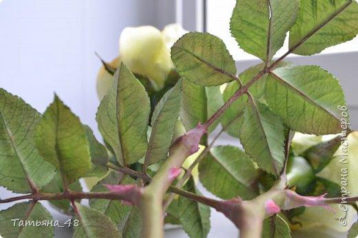Здравствуйте жители Страны Мастеров! Что то я зачастила  к вам.... Вот результат моей двухнедельной ночной жизни... Розы  создавала по МК Майи Немец (тоже житель Страны) на заказ ... Приготовьтесь.... фотосессия удалась.... фото 6