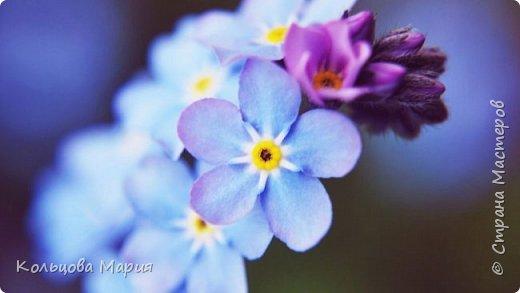 Всем привет! Хочу поделится своим мастер-классом по лепке незабудок, именно это фото живых цветов меня и вдохновило, старалась лепить цветочки так же с оттенками сиреневого и розового как на фото.  фото 1