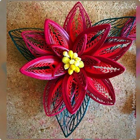 Рождественская звезда-пуансетия! Молочай прекраснейший)))) Само название уже вызывает улыбку и хорошее настроение, правда?)) Многие считают, что пуансетия цветёт один раз, в канун рождества, покупают этот цветок для новогоднего декора, как и елочку, а после праздника не сохраняют. На самом деле растение просто любит больше внимания и заботы))) А вы знали, что цветок пуансетии - это мелкие соцветия, серединка? А эти яркие лепестки - прицветия, листья? Для меня это стало неожиданностью)) И темой для творческого эксперимента! Попробую разные варианты кручения и цветовую гамму . Фото будут по мере готовности. А сейчас первая звездочка)))) фото 1