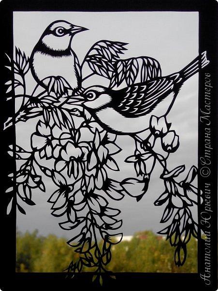 """Всем добрый день! Вашему вниманию новая открытка с птичками. - Серебряная белоглазка (Zosterops lateralis) — род птиц семейства белоглазковых.  - Область распространения простирается от Афротропики через восточный вплоть до австралийского-азиатского экорегиона.  - Наиболее выделяющийся признак белоглазок — это белое окологлазное кольцо. Тем не менее, у некоторых видов оно может быть также чёрным или вовсе отсутствовать. - Длина тела отдельных видов варьирует между 8 и 15 см. - Эскиз для """"вырезалки"""" выполнен, изменён и доработан по цветной работе австралийской художницы Dtidre Hunt. - Размер открытки 12х16см. фото 20"""