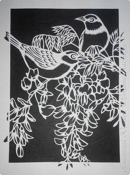 """Всем добрый день! Вашему вниманию новая открытка с птичками. - Серебряная белоглазка (Zosterops lateralis) — род птиц семейства белоглазковых.  - Область распространения простирается от Афротропики через восточный вплоть до австралийского-азиатского экорегиона.  - Наиболее выделяющийся признак белоглазок — это белое окологлазное кольцо. Тем не менее, у некоторых видов оно может быть также чёрным или вовсе отсутствовать. - Длина тела отдельных видов варьирует между 8 и 15 см. - Эскиз для """"вырезалки"""" выполнен, изменён и доработан по цветной работе австралийской художницы Dtidre Hunt. - Размер открытки 12х16см. фото 5"""