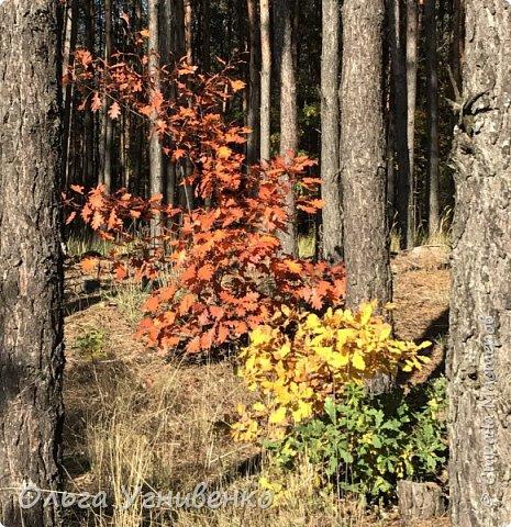 Приветствую всех жителей и гостей прекрасной СТРАНЫ МАСТЕРОВ!! Вчера выдался первый солнечный осенний денек в наших краях.  Я, кончено же, поспешила в лес, запечатлеть великолепные картины художницы Осени. Предлагаю и Вам, дорогой гость, насладиться этим зрелищем. фото 13