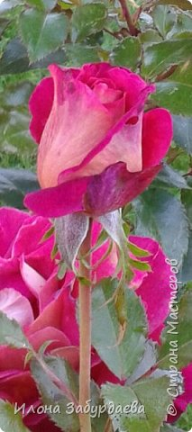 Частичная вышивка крестом , вышиты только розы.  фото 7