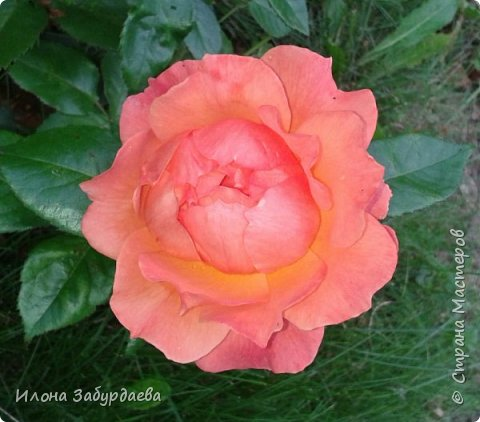 Частичная вышивка крестом , вышиты только розы.  фото 10