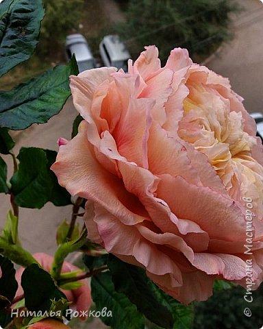 Роза абрахам-дерби фото 6