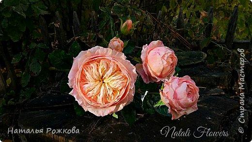 Роза абрахам-дерби фото 1