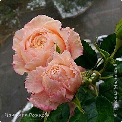 Роза абрахам-дерби фото 5