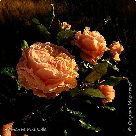 Роза абрахам-дерби фото 2