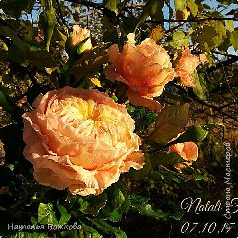 Роза абрахам-дерби фото 4