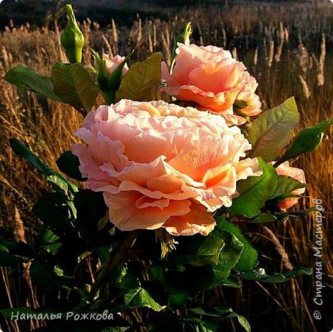 Роза абрахам-дерби фото 3