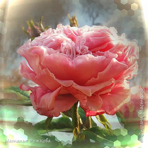 Роза абрахам-дерби фото 14