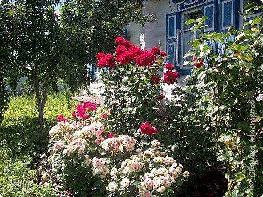 Ещё одна маленькая запись сегодня. Она предназначена тем, кто занимается  выращиванием роз. Вот таких, например, как у меня. Несколько  советов из своего более, чем 20летнего опыта работы с розами. Я купила много лет назад саженцы роз ничего о них не зная кроме того, что они  изумительно красивы. За это время я наделала много ошибок, набила шишек, хотя информации с каждым годом всё больше и больше. Но я сейчас имею и свой опыт. Всё, что советую, перепробовано мной за много лет выращивания роз. фото 1