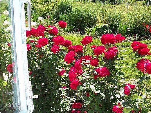 Ещё одна маленькая запись сегодня. Она предназначена тем, кто занимается  выращиванием роз. Вот таких, например, как у меня. Несколько  советов из своего более, чем 20летнего опыта работы с розами. Я купила много лет назад саженцы роз ничего о них не зная кроме того, что они  изумительно красивы. За это время я наделала много ошибок, набила шишек, хотя информации с каждым годом всё больше и больше. Но я сейчас имею и свой опыт. Всё, что советую, перепробовано мной за много лет выращивания роз. фото 22