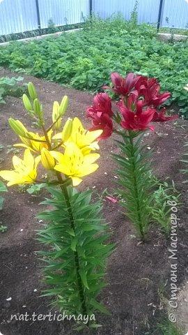 Добрый вечер всем жителям Страны  Мастеров. Представляю вашему  вниманию фото моих любимых цветов, которые я выращиваю  на своем участке. Особенно мне нравятся лилии. фото 1