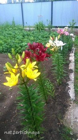Добрый вечер всем жителям Страны  Мастеров. Представляю вашему  вниманию фото моих любимых цветов, которые я выращиваю  на своем участке. Особенно мне нравятся лилии. фото 2