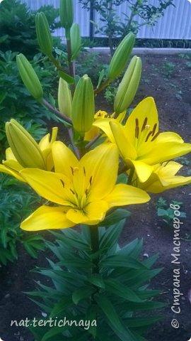 Добрый вечер всем жителям Страны  Мастеров. Представляю вашему  вниманию фото моих любимых цветов, которые я выращиваю  на своем участке. Особенно мне нравятся лилии. фото 7