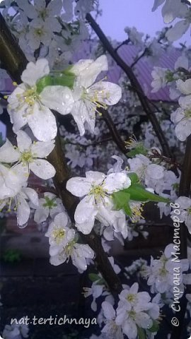 И снова цветы... Подвид ландышей, но высокие, в высоту 80 cм. фото 7