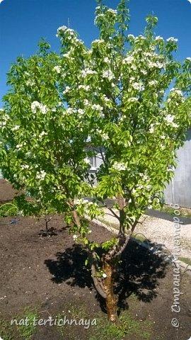 И снова цветы... Подвид ландышей, но высокие, в высоту 80 cм. фото 8