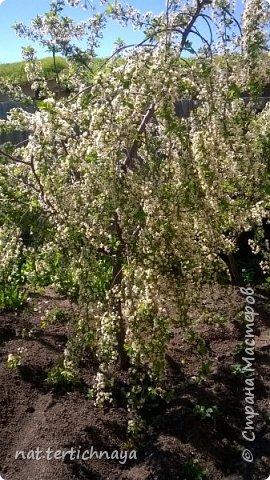 И снова цветы... Подвид ландышей, но высокие, в высоту 80 cм. фото 9