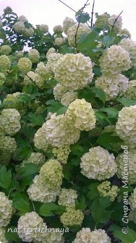 И снова цветы... Подвид ландышей, но высокие, в высоту 80 cм. фото 4