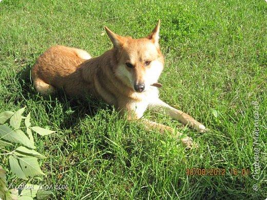 """История эта началась летом 2012 года. Я всегда считала себя """"кошатницей"""", а к собакам относилась весьма прохладно. Ну, мне они нравились, но чисто теоретически. Собаку заводить я совсем не собиралась(хлопотное это дело, а времени и так ни на что не хватает). И тут... Случайно зайдя на сайт приютов для кошек и собак( а их в Москве несколько), стала читать истории из жизни их обитателей. Как правило, грустные и безрадостные с редким счастливым концом( что эту собаку или кошку забрали из приюта и их фото до и после этого радостного события). Так, листая страницу за страницей и , чисто из любопытства, разглядывая фотографии животных, я вдруг увидела ЭТУ СОБАКУ. фото 3"""