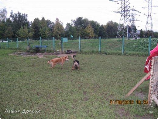 """История эта началась летом 2012 года. Я всегда считала себя """"кошатницей"""", а к собакам относилась весьма прохладно. Ну, мне они нравились, но чисто теоретически. Собаку заводить я совсем не собиралась(хлопотное это дело, а времени и так ни на что не хватает). И тут... Случайно зайдя на сайт приютов для кошек и собак( а их в Москве несколько), стала читать истории из жизни их обитателей. Как правило, грустные и безрадостные с редким счастливым концом( что эту собаку или кошку забрали из приюта и их фото до и после этого радостного события). Так, листая страницу за страницей и , чисто из любопытства, разглядывая фотографии животных, я вдруг увидела ЭТУ СОБАКУ. фото 30"""