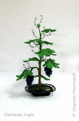 Виноградная лоза фото 5