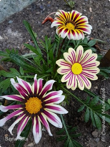 Такой цветочек газании (гацании) вырастила из бумажных полосок. Ширина полосок 2мм. сам цветочек размером в 5см. Уж очень красиво и разнообразно цвели эти цветы у меня на клумбе. Захотелось повторить в бумаге их красоту. Получилось или нет- судить вам, дорогие мастерицы. Перед тем, как делать немахровые хризантемы, которые многим мастерицам понравились, я опробовала для себя новый способ изготовления более натуральных цветочков вот на этом самом цветочке ГАЗАНИИ. фото 6
