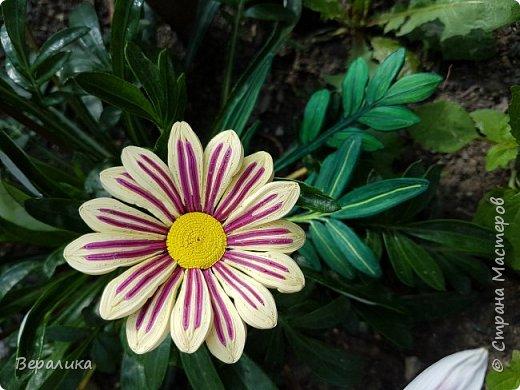Такой цветочек газании (гацании) вырастила из бумажных полосок. Ширина полосок 2мм. сам цветочек размером в 5см. Уж очень красиво и разнообразно цвели эти цветы у меня на клумбе. Захотелось повторить в бумаге их красоту. Получилось или нет- судить вам, дорогие мастерицы. Перед тем, как делать немахровые хризантемы, которые многим мастерицам понравились, я опробовала для себя новый способ изготовления более натуральных цветочков вот на этом самом цветочке ГАЗАНИИ. фото 4