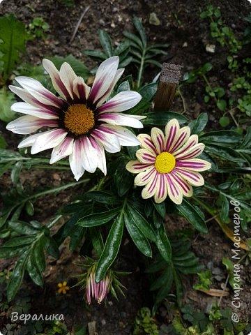 Такой цветочек газании (гацании) вырастила из бумажных полосок. Ширина полосок 2мм. сам цветочек размером в 5см. Уж очень красиво и разнообразно цвели эти цветы у меня на клумбе. Захотелось повторить в бумаге их красоту. Получилось или нет- судить вам, дорогие мастерицы. Перед тем, как делать немахровые хризантемы, которые многим мастерицам понравились, я опробовала для себя новый способ изготовления более натуральных цветочков вот на этом самом цветочке ГАЗАНИИ. фото 5
