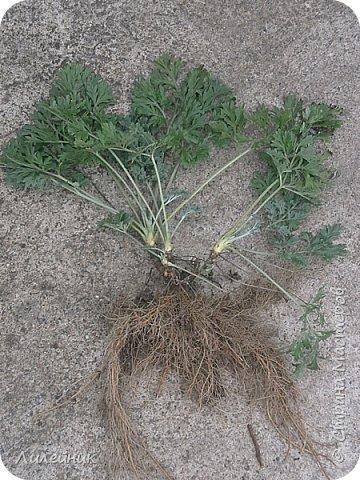 .Привет всем, я к вам снова со своим варевом. Сначала нашла в интернете таблицу с каких трав можно получить тот  или иной цвет   морилки. Меня давно заинтересовал зелёный цвет который можно было получить с корней полынь-травы. Давно я планировала сварить морилку, времени все не хватало, а тут пообещали в начале декабря снег, куда же дальше откладывать  свой эксперемент.  фото 1