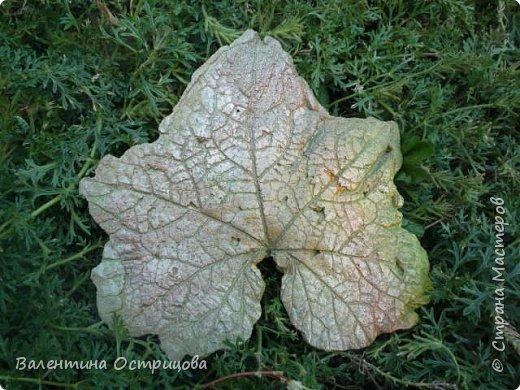 Здравствуйте , дорогие  мастера  и  мастерицы !   Ранней  осенью  сделала  ещё  несколько  малых и  средних  листьев  из  цементной  массы . Затем  покрасила  их  краской  из  баллончиков .  Предлагаю  посмотреть  на  них   в  процессе  работы  и   затем  в  саду . фото 9