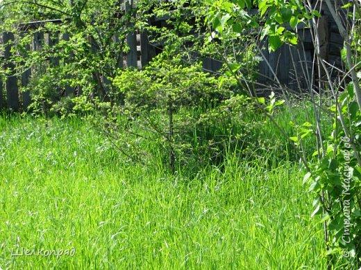 Мы не только гуляем по деревне, но и играем и работаем в огороде. Нам здесь тоже интересно. Как-то утром вышли, а в ведре с водой плавает лягушка. Запрыгнула, а выбраться не может. Мы  с Елисеем тут же развернули операцию по её спасению. Вытащили её и отнесли на газон. фото 7