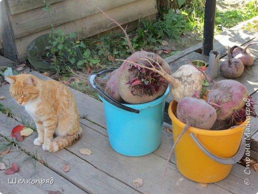 Вот ещё одно моё счастье. Мой любимый Лучик. Он мне помогает, когда Елисея нет. Урожай свёклы охраняет (от мышей). фото 1