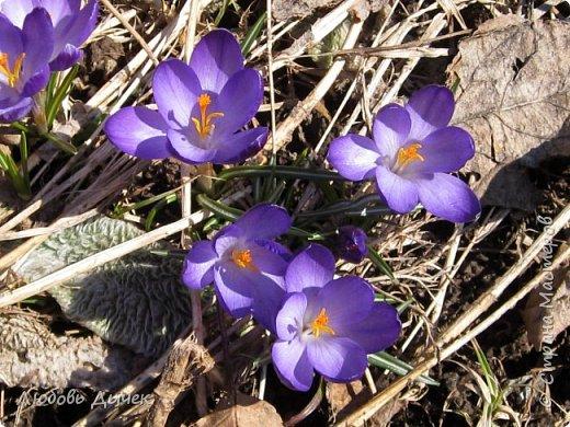 Здравствуйте, дорогие жители Страны мастеров!Я так скучаю по весне, по запахам оттаявшей от зимней спячки земли, по нежным первоцветам, яркой зелени! Весна в этом году  редко радует нас солнышком, а так хочется ярких красок! Я уверена, что я не одинока в своих желаниях. Чтобы порадовать себя и всех, кто любит цветы, предлагаю посмотреть мой фото репортаж о цветах с нашей дачи . Надеюсь, что яркость красок добавит в вашу жизнь позитива и любви к жизни. Знакомство с цветами я начинаю с крокусов. Они первыми начинают радовать нас и предвещают приход весны.
