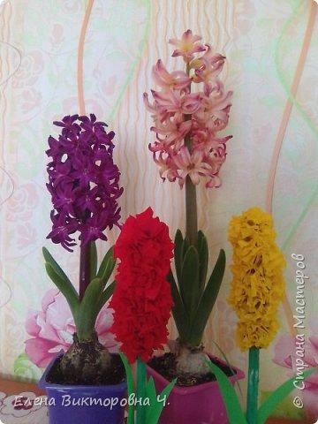Гиацинты для бабушек. фото 4