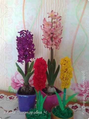 Гиацинты для бабушек. фото 5