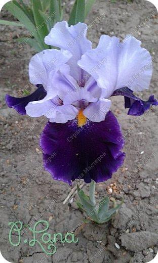 Добрый всем вечер,предлагаю вам полюбоваться цветением моих ирисов. Желаю всем приятного просмотра. фото 6