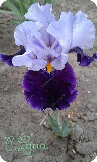 Добрый всем вечер,предлагаю вам полюбоваться цветением моих ирисов. Желаю всем приятного просмотра. фото 5