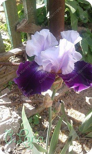 Добрый всем вечер,предлагаю вам полюбоваться цветением моих ирисов. Желаю всем приятного просмотра. фото 13