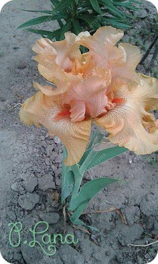 Добрый всем вечер,предлагаю вам полюбоваться цветением моих ирисов. Желаю всем приятного просмотра. фото 16
